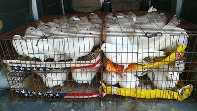 河南省郑州市管城回族区淘汰鸽子 600-800克