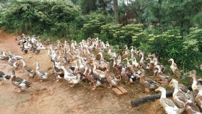 江西省宜春市高安市麻鸭 统货 半圈养半散养 4-5斤