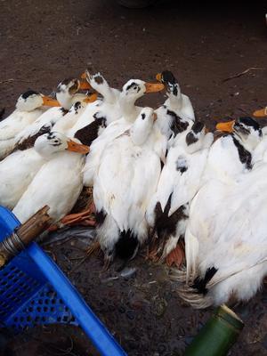 四川省宜宾市宜宾县花边鸭 公 全散养 4-5斤
