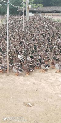 广东省佛山市南海区水鸭 公 半圈养半散养 2-3斤