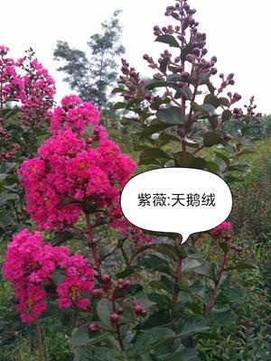 四川省雅安市名山区天鹅绒紫薇