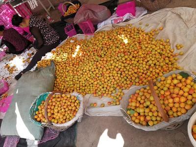 新疆维吾尔自治区阿克苏地区阿克苏市吊树干杏 30-40mm