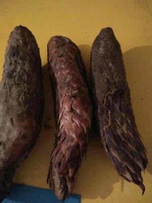 新疆维吾尔自治区阿拉尔市阿拉尔市肉苁蓉