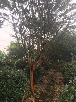 广西壮族自治区南宁市横县紫薇树