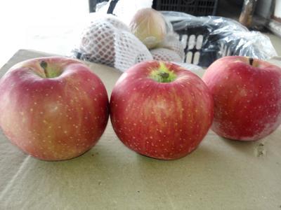 陕西省渭南市大荔县红富士苹果 膜袋 片红 75mm以上