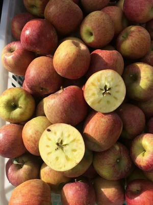 云南省丽江市古城区冰糖心苹果 光果 片红 75mm以上