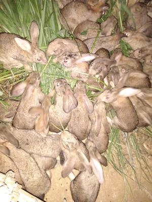 广西壮族自治区桂林市平乐县杂交野兔 3-5斤