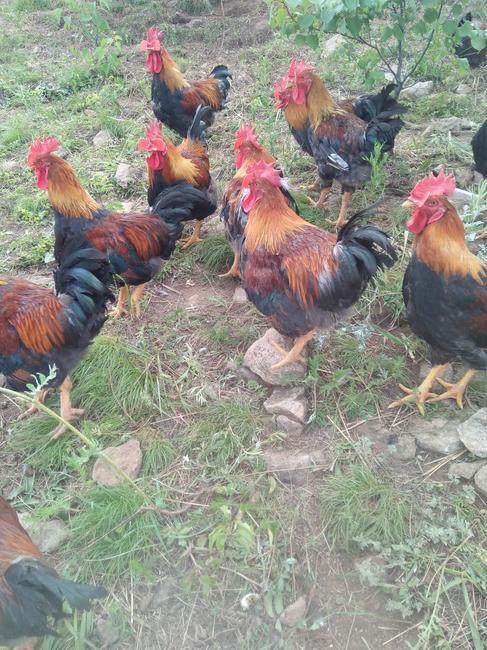 红玉公鸡 公 4-5斤