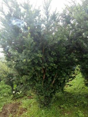 四川省绵阳市安县曼地亚红豆杉 1.5~2米