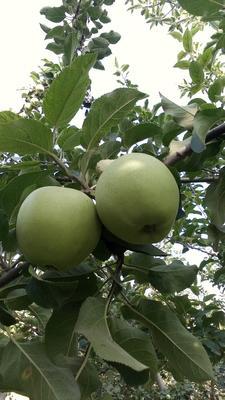 陕西省咸阳市泾阳县青苹果 光果 翠绿 75mm以下