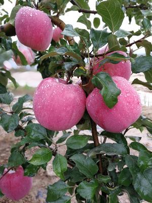 江苏省苏州市虎丘区红富士苹果 纸袋 片红 75mm以上