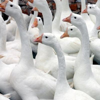 这是一张关于白鹅 统货 全散养 6-8斤的产品图片