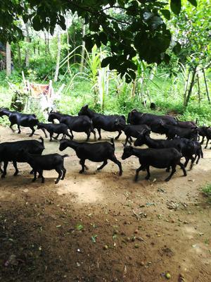 海南省儋州市儋州市黑山羊 50-80斤