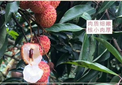 广东省云浮市郁南县桂味荔枝 1.5cm