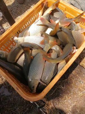 江苏省徐州市铜山区池塘鲤鱼 人工养殖 4.0龙8国际官网官方网站