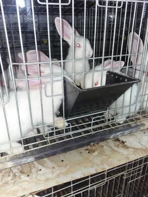 贵州省安顺市平坝县肉兔 3-5斤