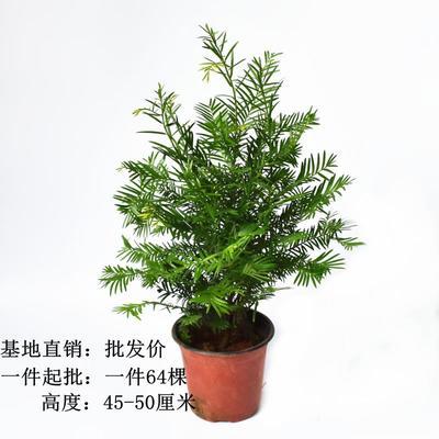 福建省龙岩市漳平市南方红豆杉 0.5~1米