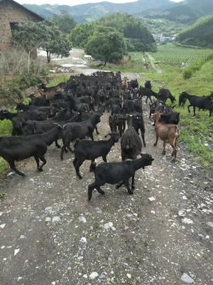 湖南省永州市蓝山县黑山羊 50-80斤