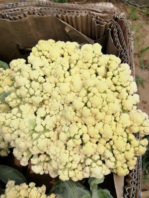 河北省唐山市滦南县有机松花菜 适中 1~2斤 米黄色
