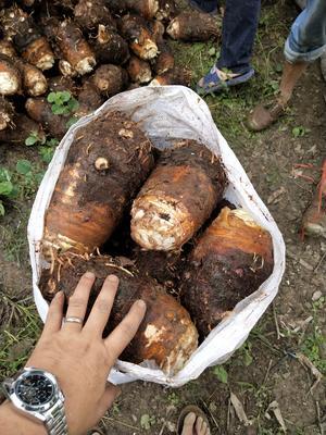云南省西双版纳傣族自治州勐腊县芋头8520 5cm以上