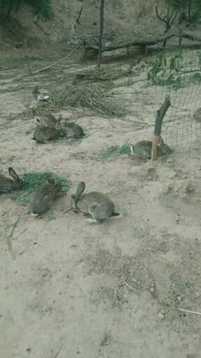 山西省吕梁市临县杂交野兔 3-5斤