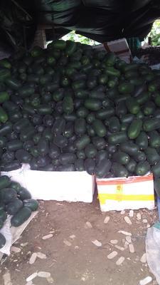 广东省广州市白云区小冬瓜 2斤以上 黑皮