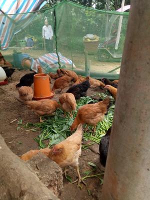 湖南省长沙市浏阳市土鸡 统货 2-3斤