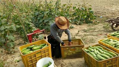 山东省威海市文登区翠玉黄瓜 18~22cm 鲜花带刺