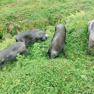 云南省昭通市威信县山林黑猪 160-200斤
