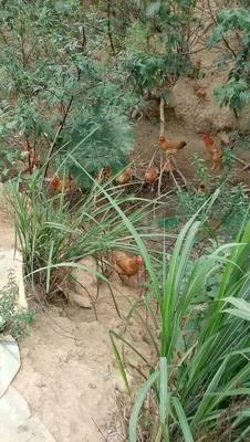 湖北省咸宁市赤壁市绿壳鸡蛋 食用 礼盒装