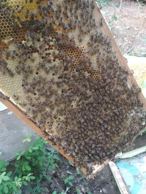 河南省三门峡市卢氏县土蜂蜜 塑料瓶装 95%以上 2年