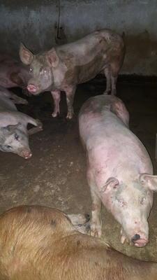 云南省大理白族自治州大理市黑猪 200-300斤