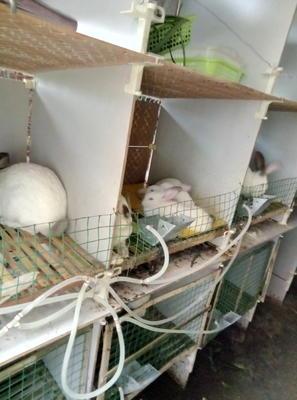 四川省达州市大竹县杂交野兔 5斤以上