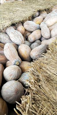 广西壮族自治区南宁市西乡塘区金韩蜜本南瓜 6~10斤 长条形