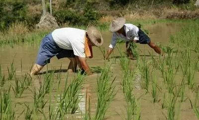 云南省德宏傣族景颇族自治州盈江县云南生态大米 有机大米 早稻 一等品