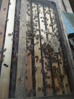 四川省内江市威远县土蜂蜜 塑料瓶装 100% 2年以上