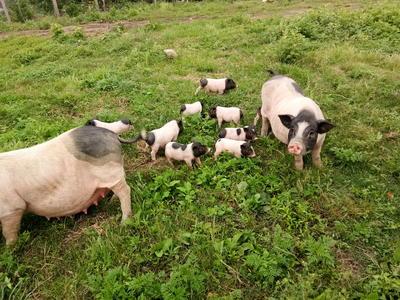 湖北省黄冈市团风县两头乌猪 20-25斤