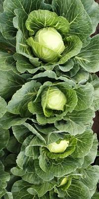 吉林省长春市南关区优秀西兰花 2.5斤以上 15~20cm