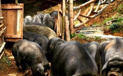 贵州省黔东南苗族侗族自治州凯里市生态土黑毛猪 160-200斤