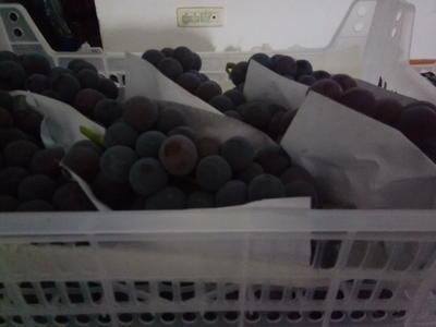 浙江省嘉兴市秀洲区藤稔葡萄 5%以下 1次果 2斤以上