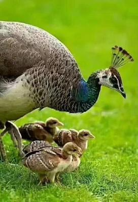 这是一张关于孔雀蓝山鸡 1斤以下的产品图片