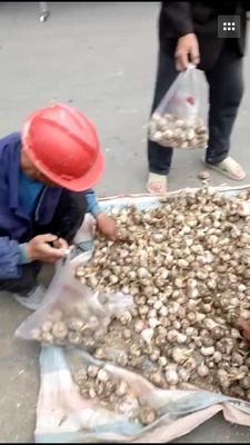 这是一张关于白皮大蒜 4.5-5.0cm 四六瓣的产品图片