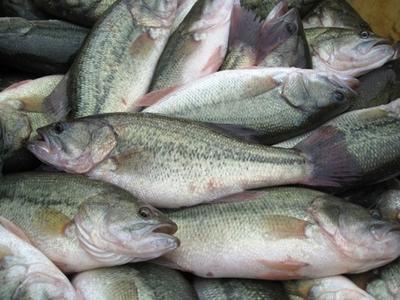 湖北省宜昌市宜都市加州鲈鱼 人工养殖 0.5公斤以下