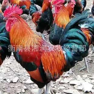 湖南省衡阳市雁峰区血毛土鸡苗