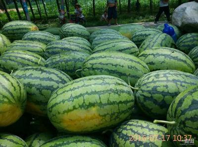 河南省周口市太康县春光六二西瓜 有籽 1茬 9成熟 10斤打底