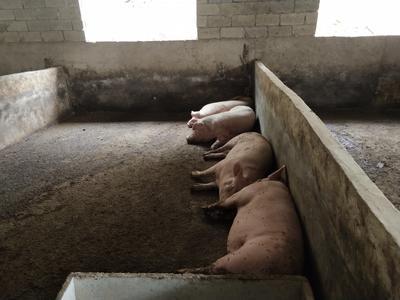 贵州省六盘水市六枝特区土猪 300斤以上