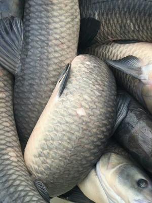 湖南省常德市安乡县淡水青鱼 人工养殖 5.0龙8国际官网官方网站