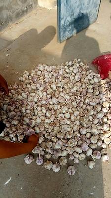 这是一张关于红皮大蒜 混级统货 多瓣蒜的产品图片