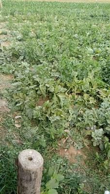 这是一张关于冠龙西瓜 有籽 1茬 9成熟 10斤打底的产品图片