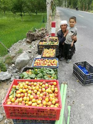 新疆维吾尔自治区喀什地区塔什库尔干塔吉克自治县大红杏  40-45mm